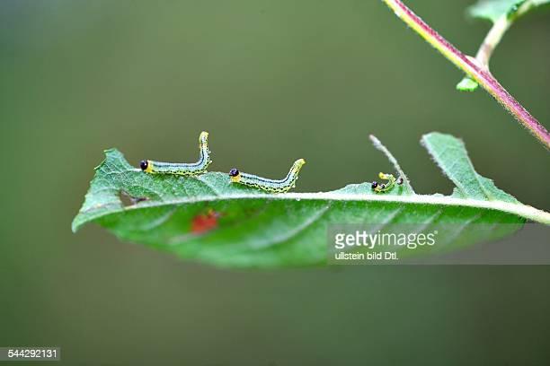 Raupen Raupenfamilie auf einem gruenen Blatt