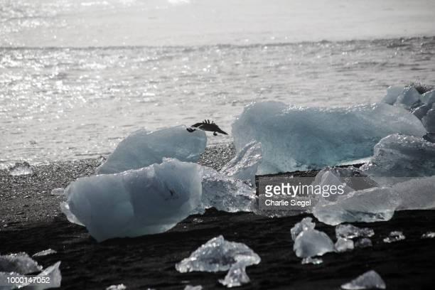 A Raven Among Ice