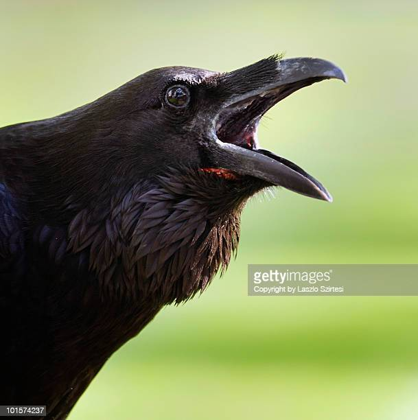 raven at the tower - ravens stock photos and pictures