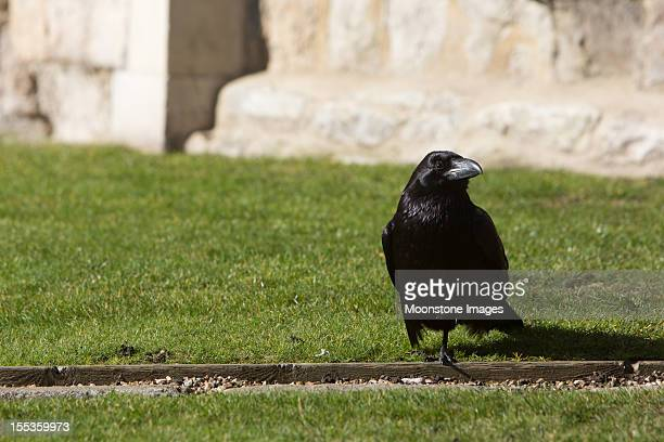 raven at tower of london in england, uk - tower of london stock pictures, royalty-free photos & images