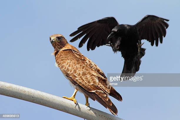 raven attacking hawk - raven bird stock photos and pictures