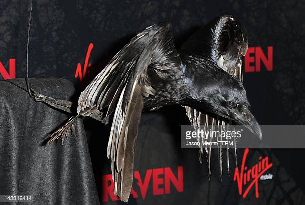 Raven bird Shook arrives at the special screening of Relativity Media's The Raven on April 23 2012 in Los Angeles California