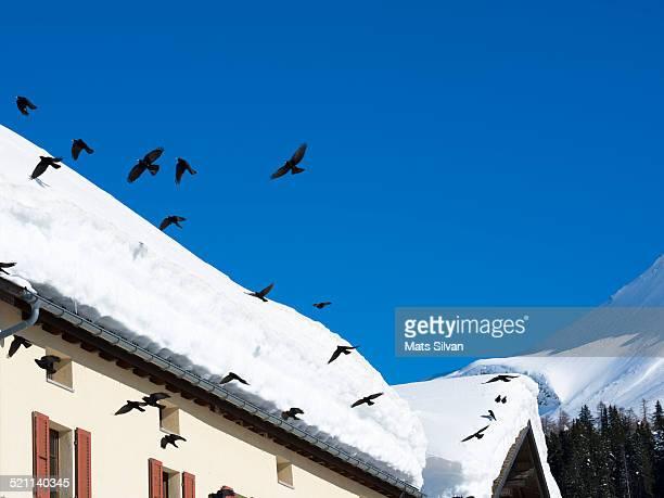 Raven birds