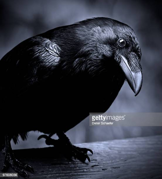 raven - curious - ravens stock photos and pictures