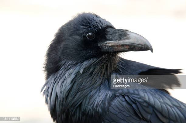 Raven Face- White Background