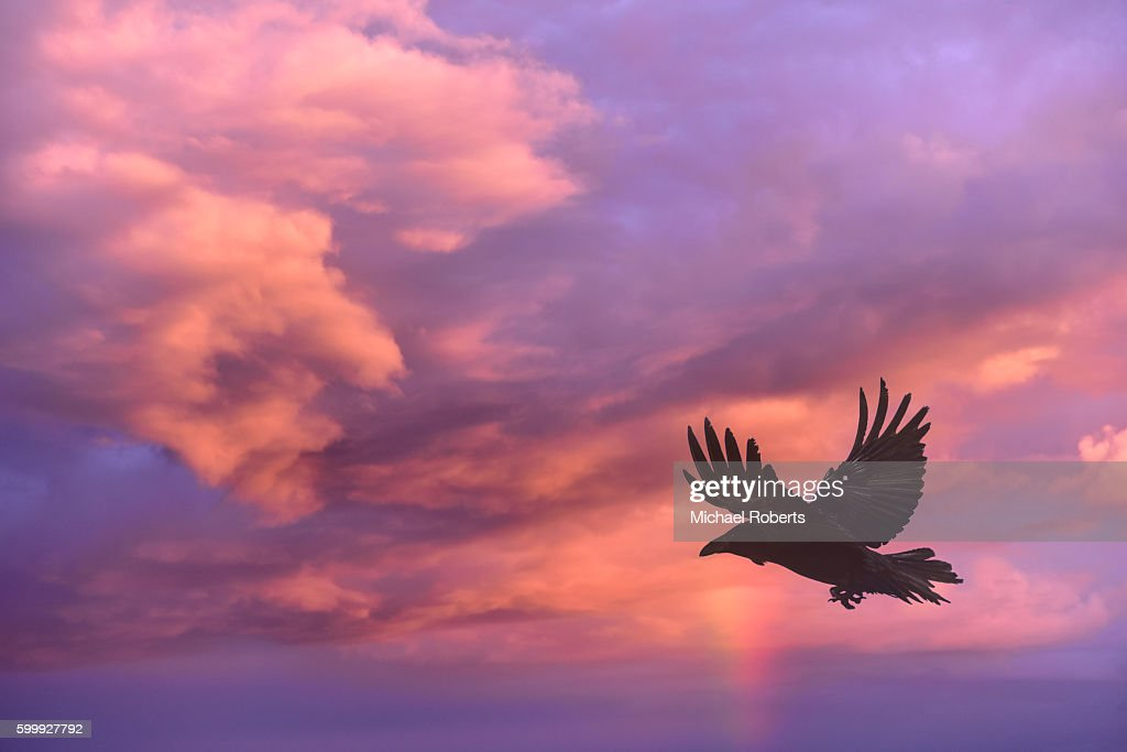 Raven flying against a background of clouds at sunset. : Stock Photo