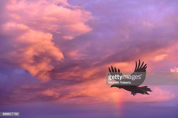 Raven flying against a background of clouds at sunset.