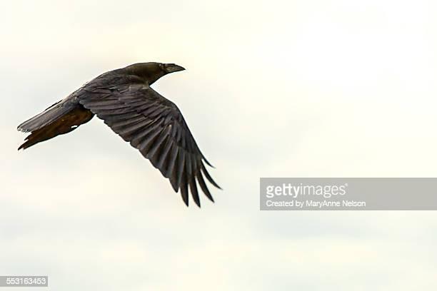 raven flying - arizona bird stock pictures, royalty-free photos & images