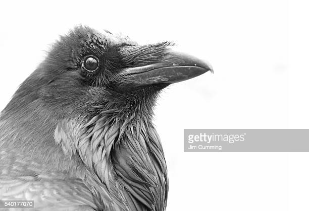 raven in black and white - raven bird stock photos and pictures