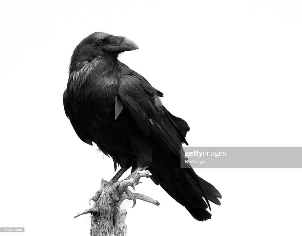 Raven in Black & White - Isolated : Stock Photo