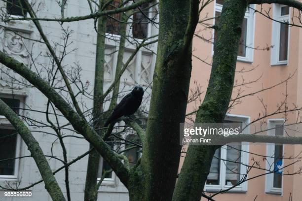 raven in the city - jonah heim stock-fotos und bilder