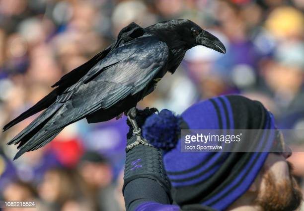 A raven is brought out on the field during the game between the Los Angeles Chargers and the Baltimore Ravens on January 6 at MT Bank Stadium in...