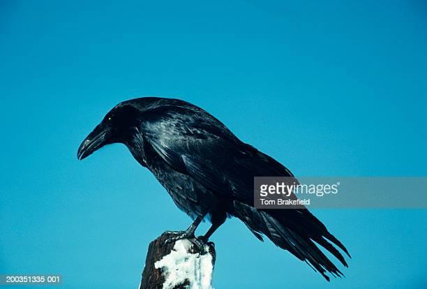 Raven, North America
