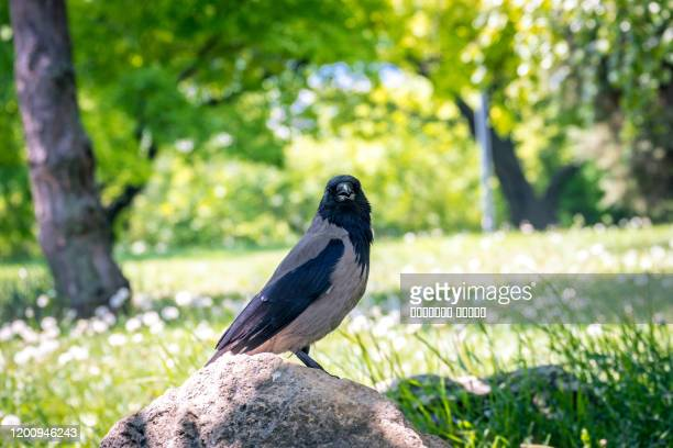 raven on the stone in garden - dead crow stock pictures, royalty-free photos & images