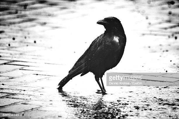 raven on wet street - crow bird stock photos and pictures