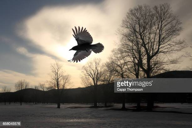 raven or crow flying - merel stockfoto's en -beelden