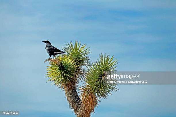 Raven perched atop Joshua tree