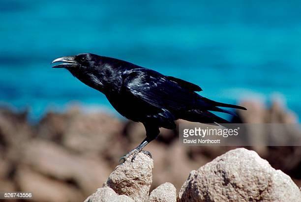 Raven Perched on Rocks