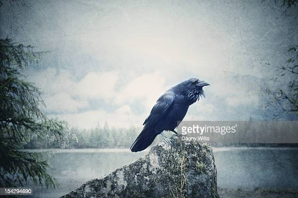 raven perches on rock - ravens stock photos and pictures
