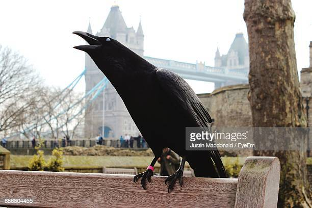 raven perching on bench against tower bridge in city - tower of london stock pictures, royalty-free photos & images