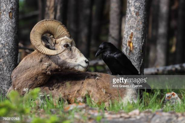 raven perching on bighorn sheep resting by trees at forest - raven bird stock photos and pictures