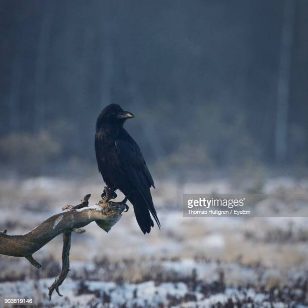 Raven Perching On Branch During Winter
