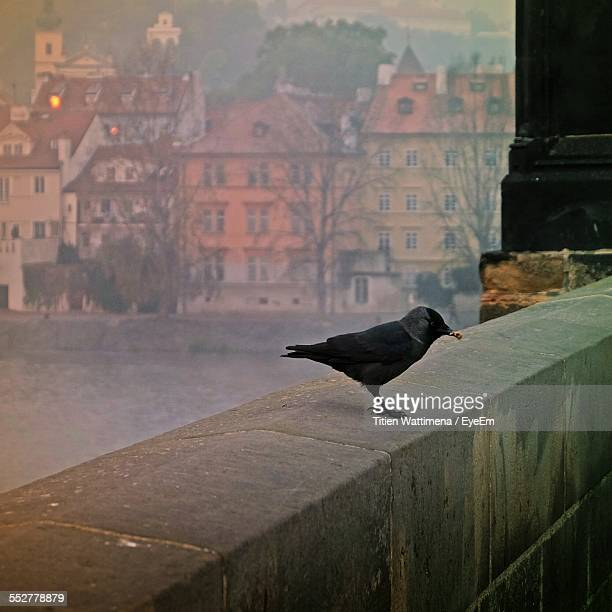 Raven Perching On Retaining Wall By River In Foggy Weather