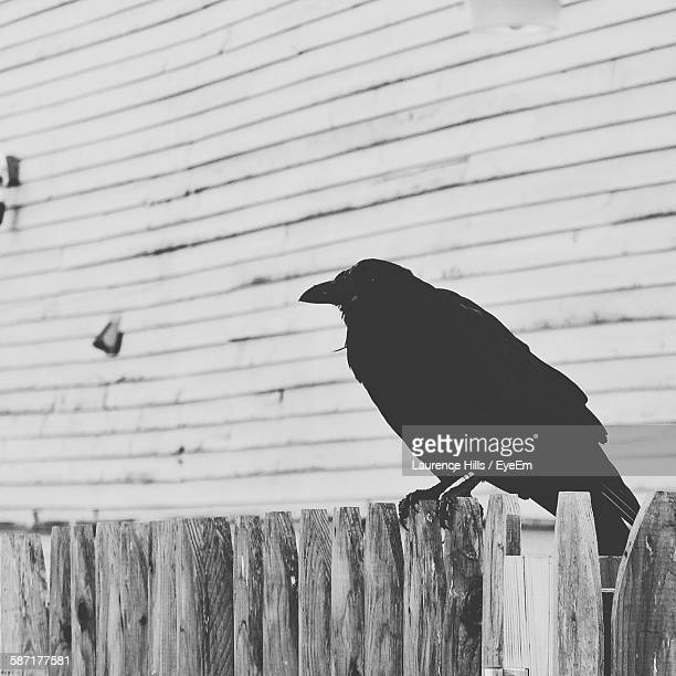 Raven Perching On Wooden Fence