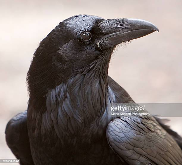 raven - crow bird stock photos and pictures