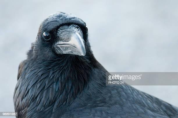 raven - schnabel stock-fotos und bilder