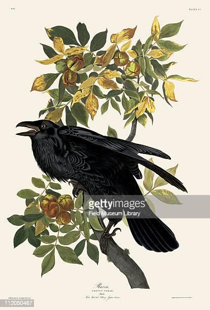 Raven Plate 101 in John James Audubon's Birds of America late 1830s