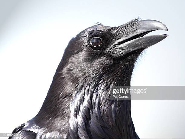 raven portrait - ravens stock photos and pictures