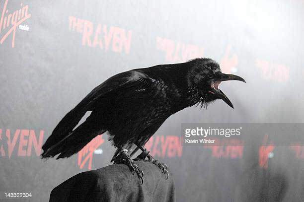 A raven sits on a perch at a special screening of Relativity Media's The Raven at the Los Angeles Theater on April 23 2012 in Los Angeles California