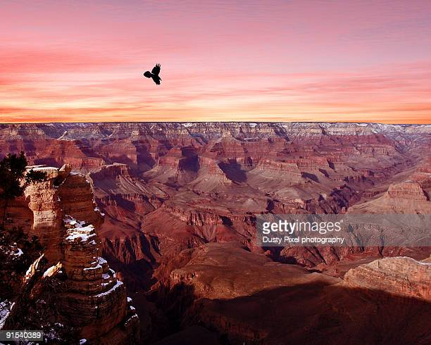 raven soars at sunset over grand canyon - arizona bird stock pictures, royalty-free photos & images