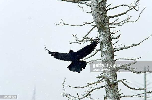 Raven taking off,wings open