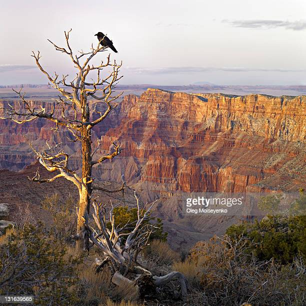 raven top of dead tree, grand canyon - dead raven stock photos and pictures