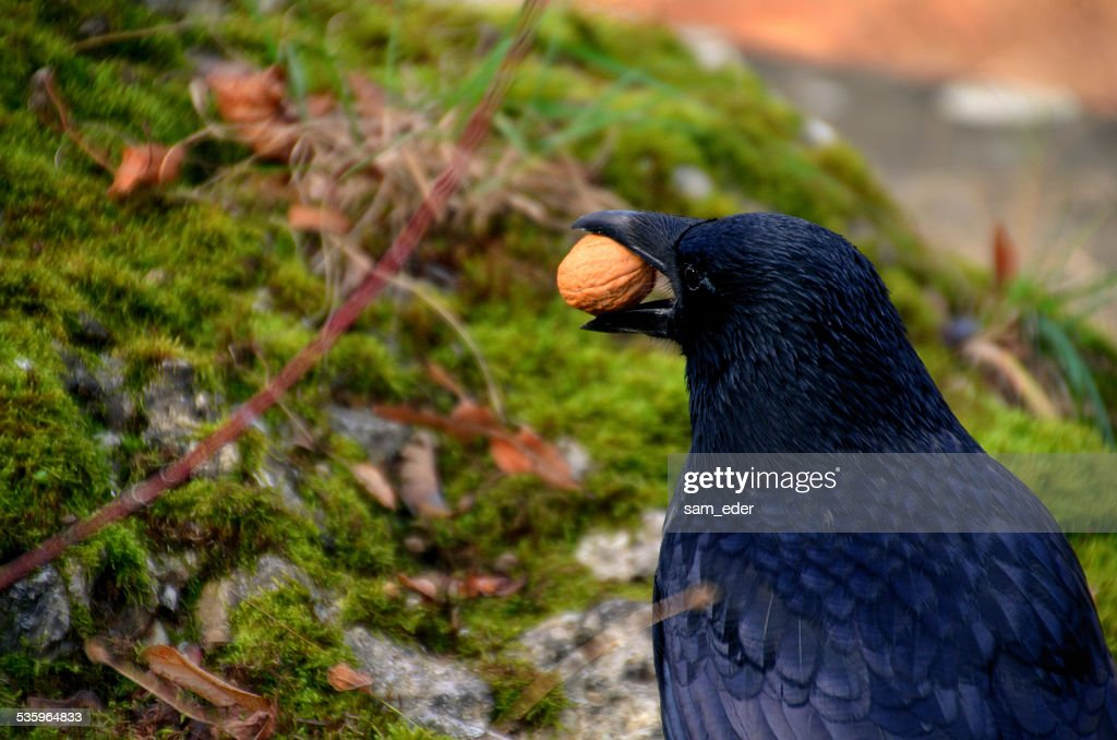 raven with a nut : Stock Photo