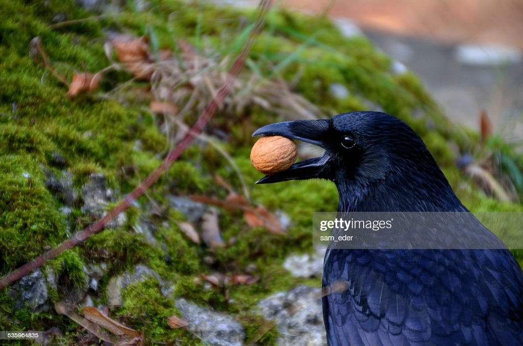 raven with nut in the beak : Stock Photo