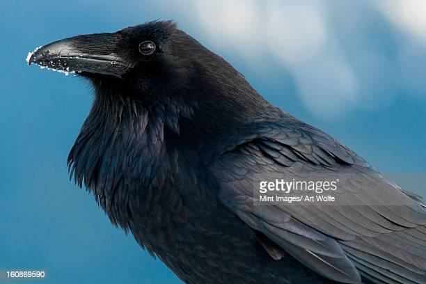 Raven with snow on its beak, Corvus corax, Olympic National Park, Washington, USA