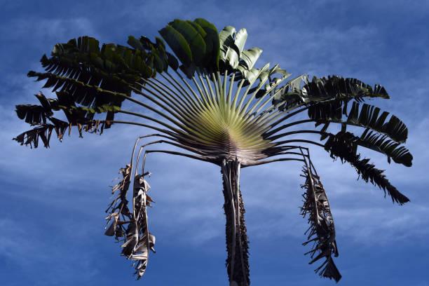 Ravenala (Traveler's Tree)