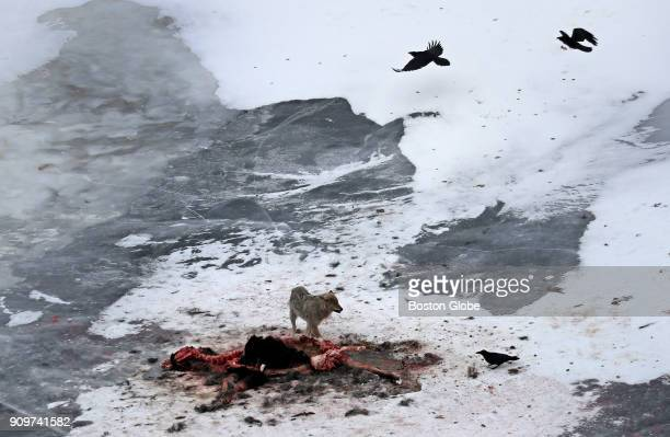 Ravens circle overhead as a single wolf stands over the carcass of a moose after a group of wolves took down and fed on the creature on the frozen...
