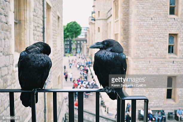 ravens perching on railing at tower of london - tower of london stock pictures, royalty-free photos & images