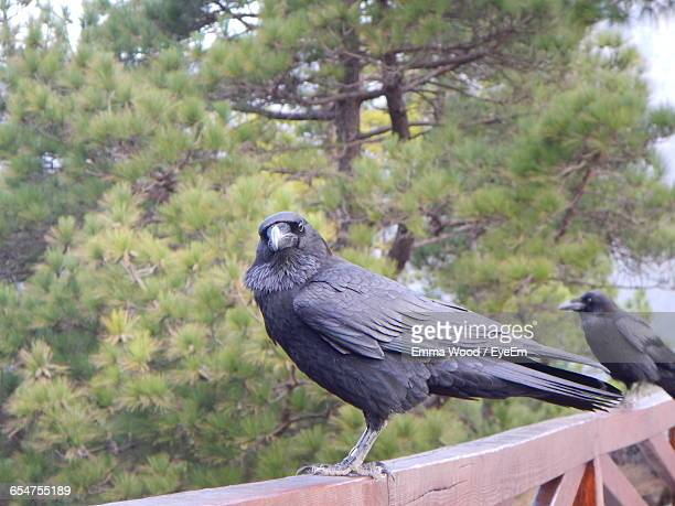 ravens perching on railing - raven bird stock photos and pictures