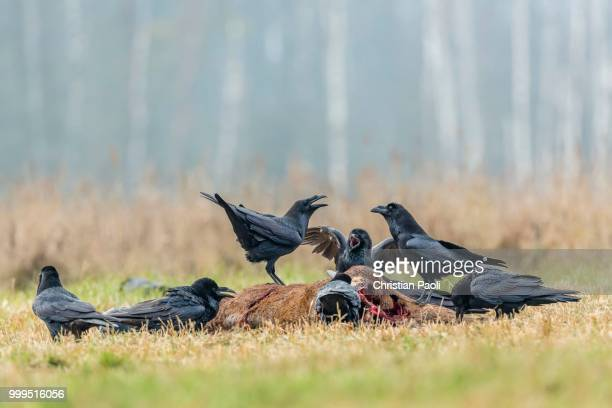 ravens (corvus corax), sitting on dead deer, masuria, poland - dead raven stock photos and pictures
