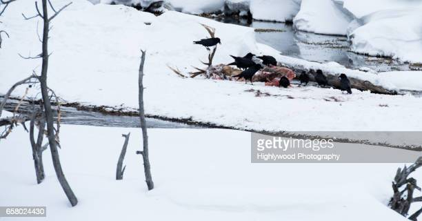ravens tear at a male elk carcass in yellowstone - dead raven stock photos and pictures