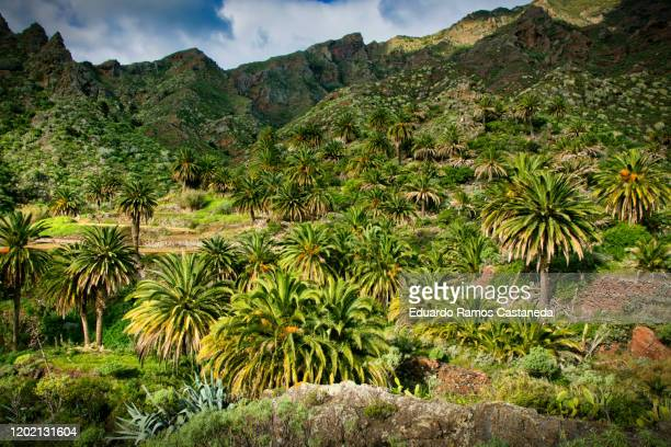 ravine with palm trees at sunset on the island of tenerife, landscape of a green valley with a palm grove - isla de tenerife fotografías e imágenes de stock
