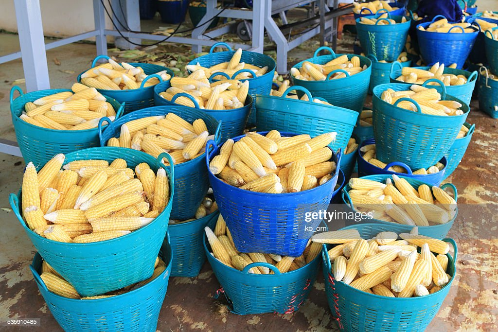 Raw Corn : Stock Photo