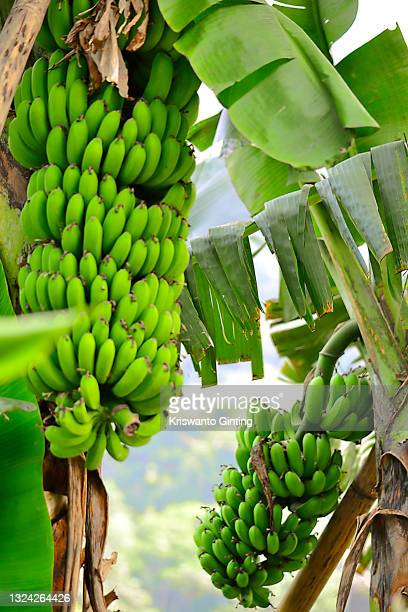 raw green bananas on a tree. - ripe stock pictures, royalty-free photos & images