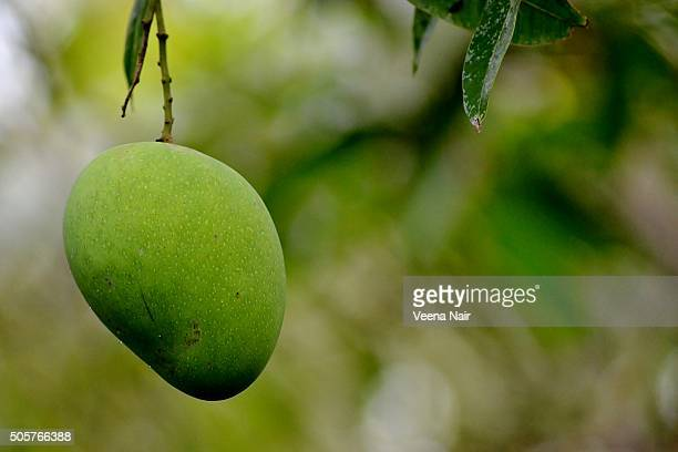 raw mango on a mango tree - mango tree stock pictures, royalty-free photos & images