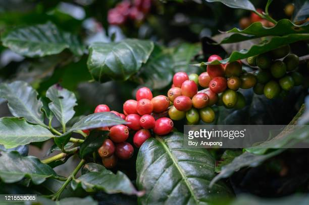 raw red coffee cherries on coffea tree branch in coffee plantation on highland mountains of northern thailand. - maduro fotografías e imágenes de stock